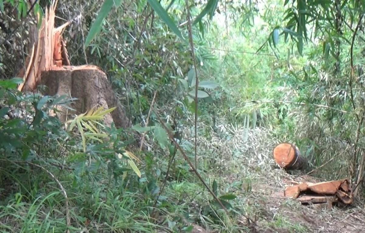 Hiện trường vụ phá rừng. (Ảnh: TTXVN phát)