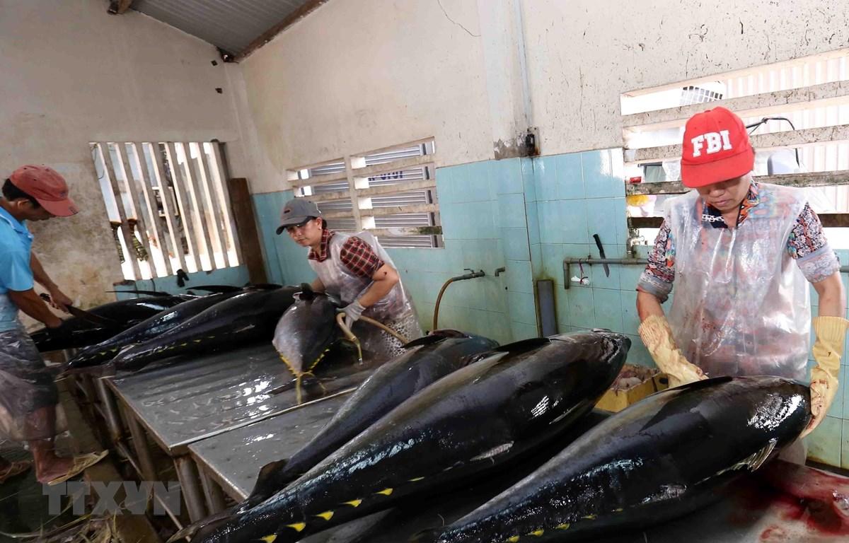 Cá ngừ đại dương được đánh bắt, đưa vào sơ chế tại Công ty TNHH Hải Hà, cảng cá Tam Quan Bắc, huyện Hoài Nhơn, tỉnh Bình Định đều đảm bảo các quy định về truy xuất nguồn gốc. (Ảnh: TTXVN)