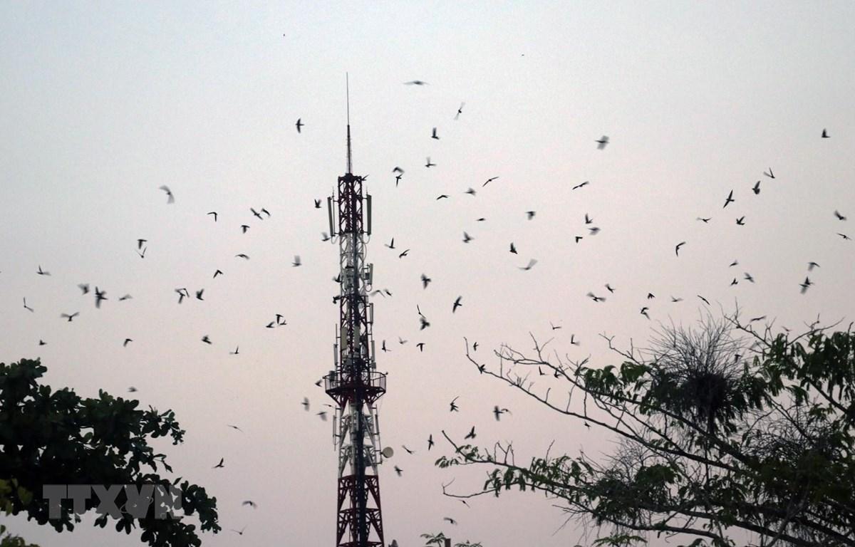Đàn chim yến tập trung về nhà nuôi trên địa bàn huyện Giồng Riềng (Kiên Giang). (Ảnh: Lê Huy Hải/TTXVN)