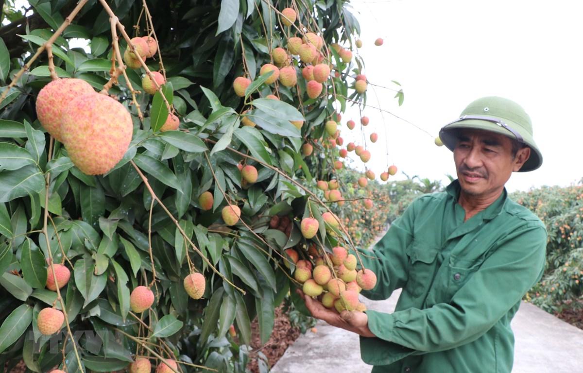 Vườn vải U hồng của gia đình ông Lê Hồng Hải ở thôn Phúc Giới, xã Thanh Bính, huyện Thanh Hà, tỉnh Hải Dương chuẩn bị cho thu hoạch (ảnh tư liệu). (Ảnh: Mạnh Minh/TTXVN)