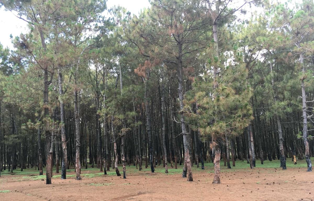 Khu vực rừng thông bị bóc vỏ trái phép tại Gia Lai. (Ảnh: Dư Toán/TTXVN)