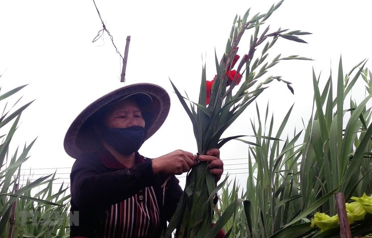 Nông dân Bình Ngọc thu hoạch hoa lay ơn trồng sớm để bán vào dịp 23 tháng Chạp. (Ảnh: Xuân Triệu/TTXVN)