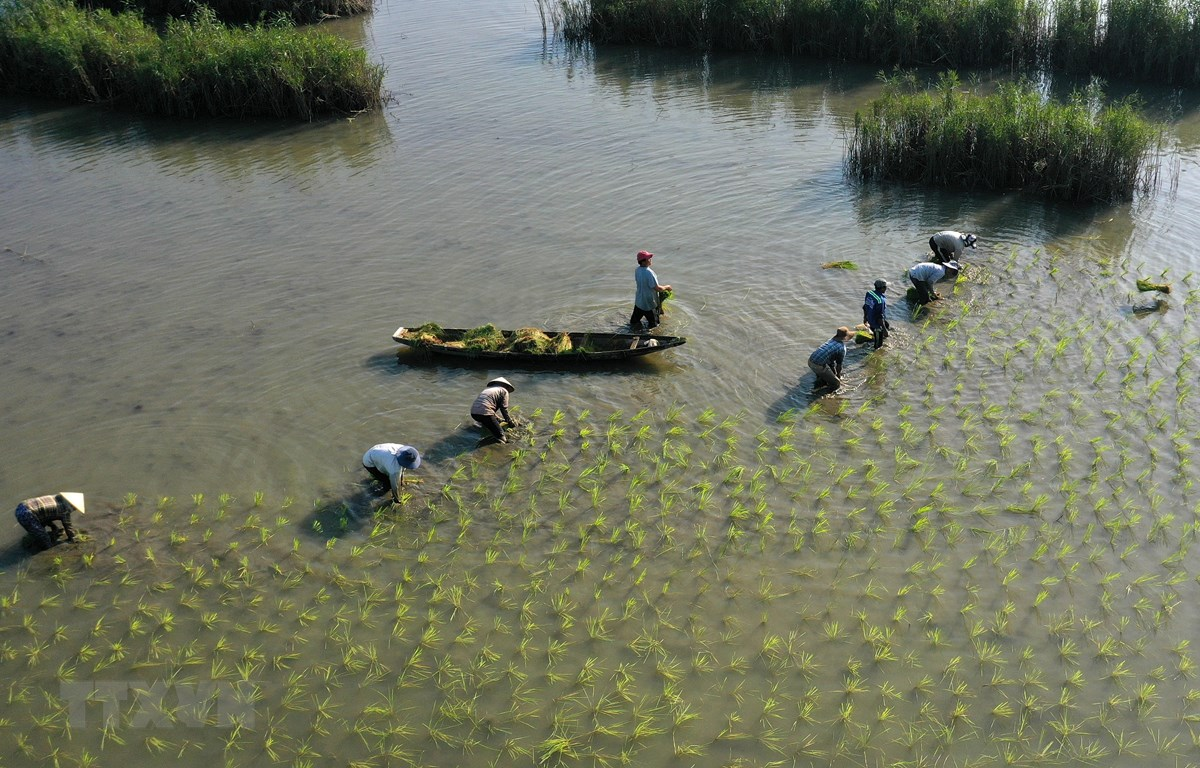 Nông dân tỉnh Thừa Thiên-Huế gieo cấy lúa đông xuân. (Ảnh: Hồ Cầu/TTXVN)