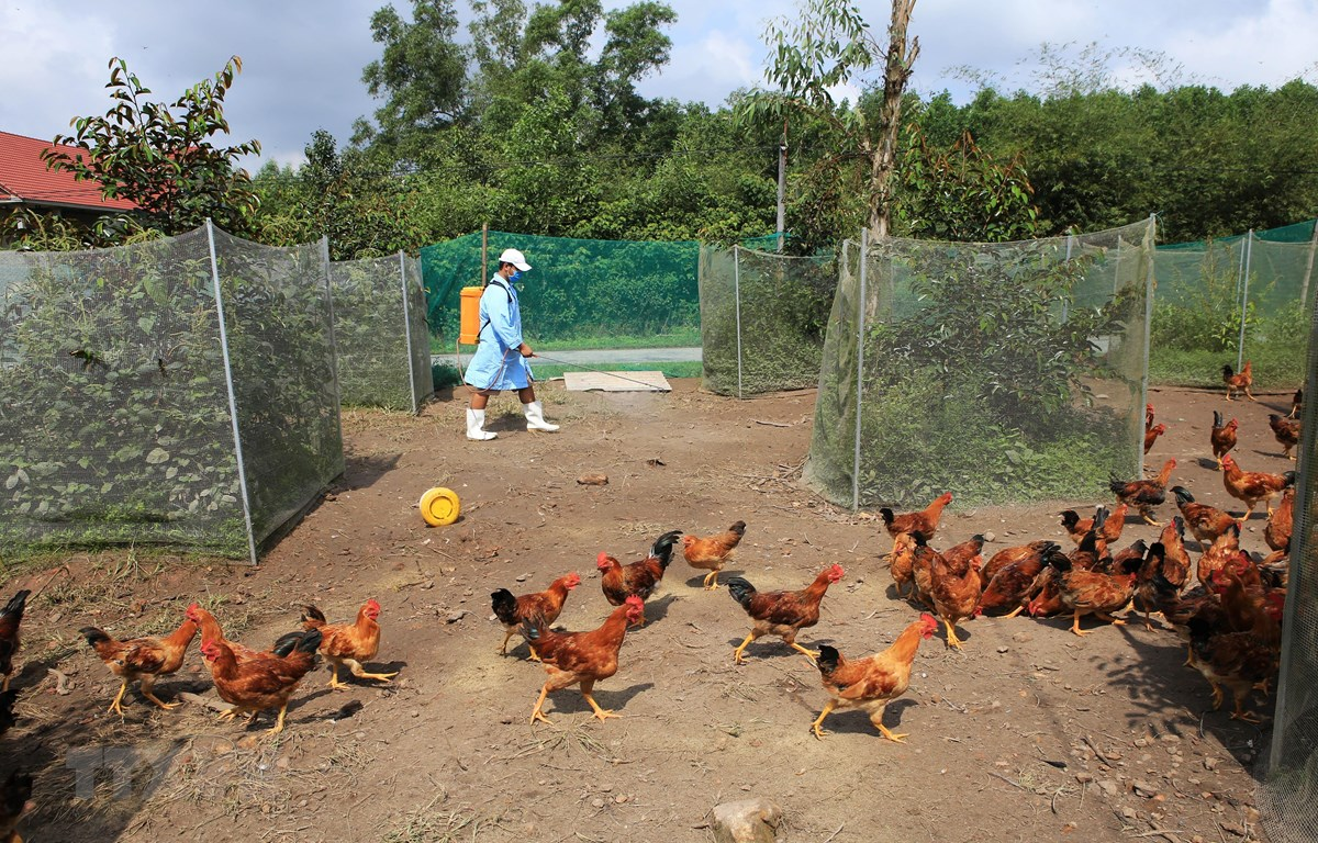 Phun thuốc tiêu độc khử trùng tại một trang trại chăn nuôi gà trên địa bàn thị xã Hương Thủy. (Ảnh: Hồ Cầu/TTXVN)