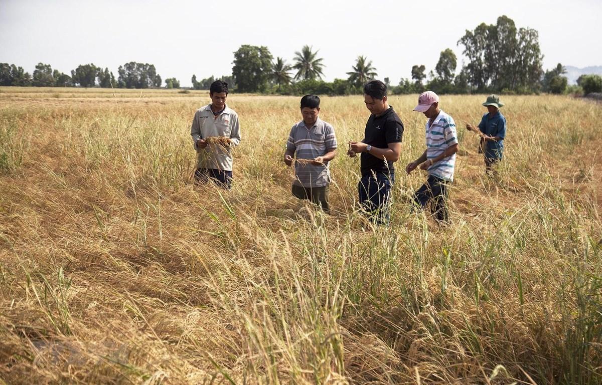 Cánh đồng lúa của nông dân xã Lình Huỳnh, huyện Hòn Đất bị ảnh hưởng nặng nề do hạn mặn. (Ảnh: Hồng Đạt/TTXVN)