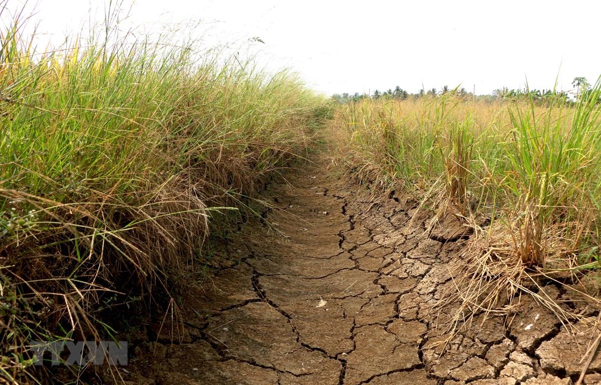 Lúa khô cháy, đất nứt nẻ là tình trạng chung trên nhiều cánh đồng ở huyện Tân Trụ. (Ảnh: Bùi Giang/TTXVN)