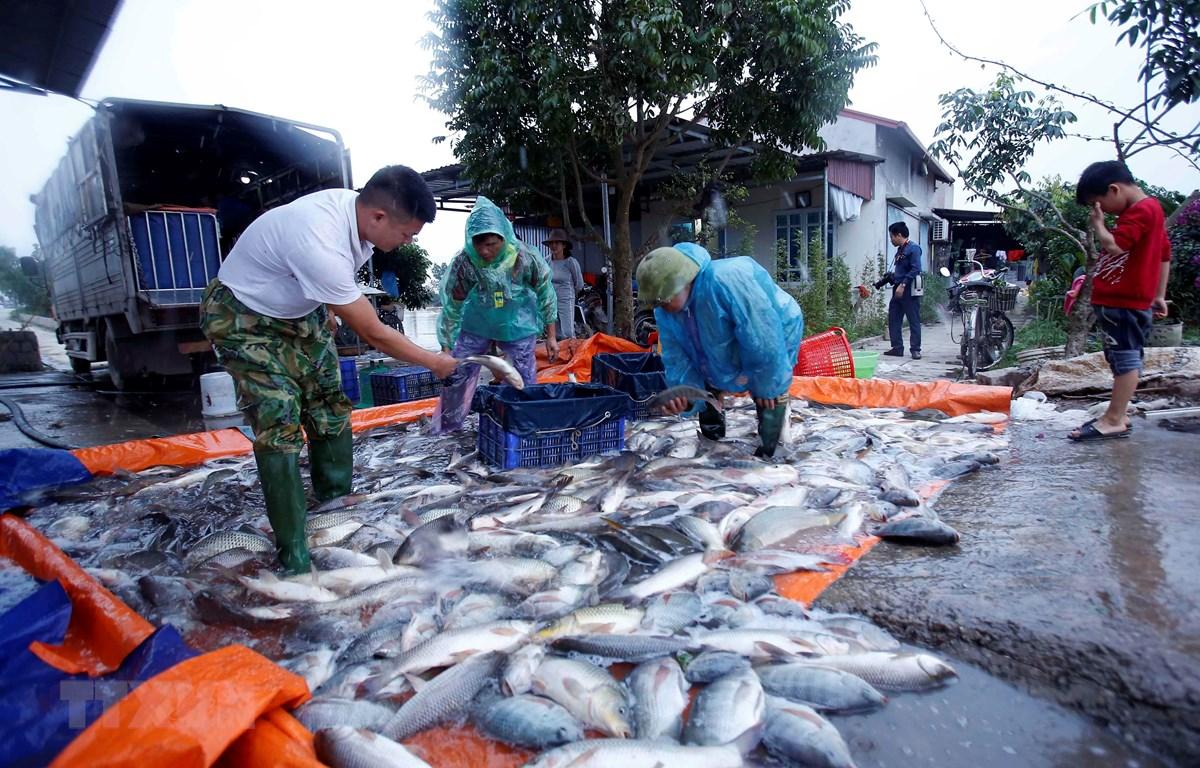 Thu hoạch cá tại Hợp tác xã nuôi trồng thủy sản Hạ Lễ (huyện Ân Thi, Hưng Yên). (Ảnh: Phạm Kiên/TTXVN)