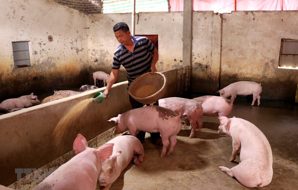 Người chăn nuôi lợn tỉnh Bắc Ninh tái đàn sau bệnh dịch tả lợn châu Phi. (Ảnh: TTXVN)