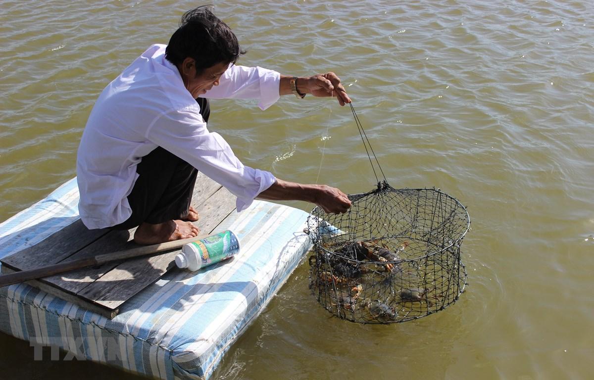 Nông dân Cà Mau thu hoạch cua nuôi trong vuông để xuất biển. (Ảnh: Huỳnh Thế Anh/TTXVN)
