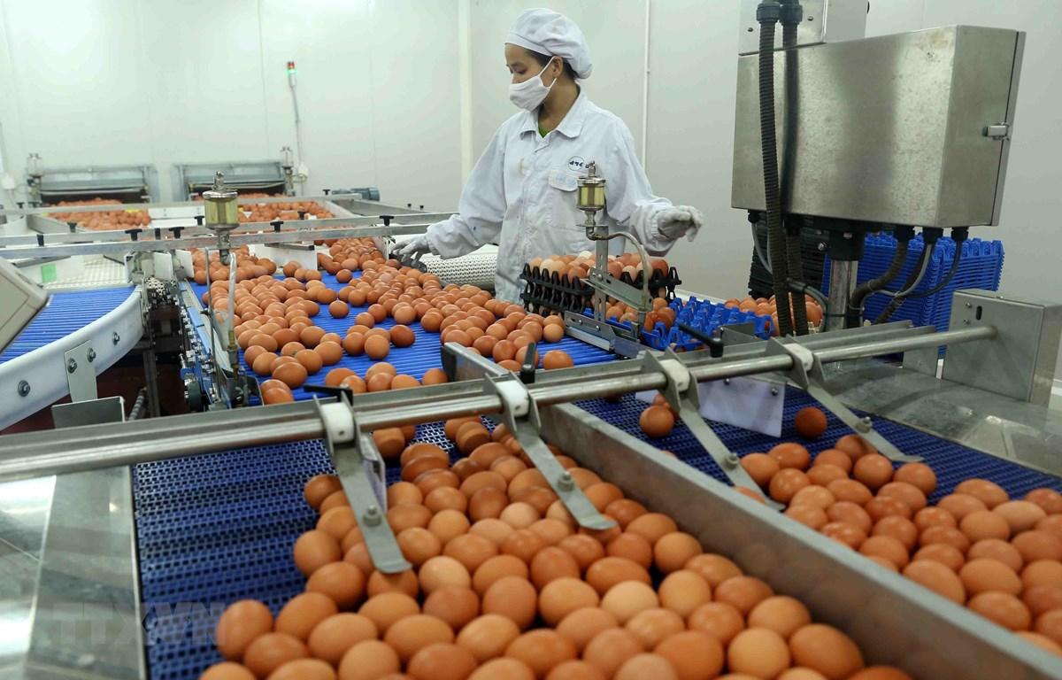 Dây chuyền phân loại sản phẩm trứng gà công nghệ Nhật Bản tại Nhà máy sản xuất trứng gà công nghệ cao ĐTK Phú Thọ. (Ảnh: Vũ Sinh/TTXVN)