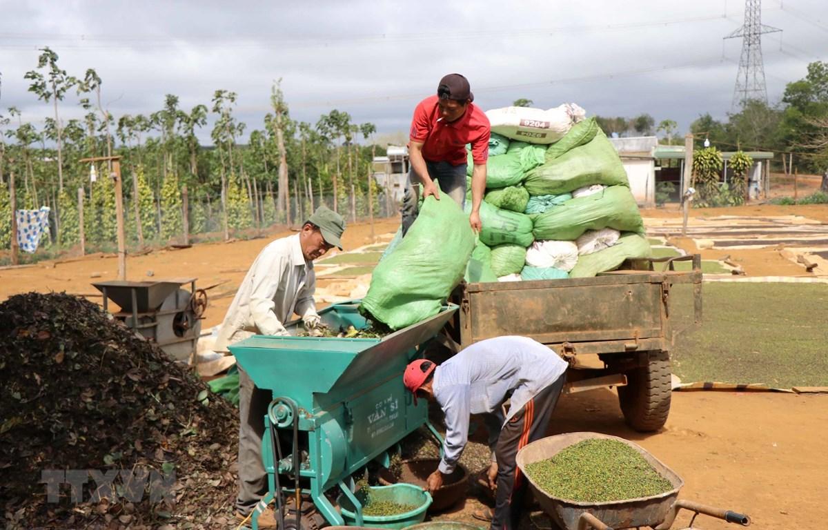 Nông dân xay xát tiêu tươi chuẩn bị phơi khô. (Ảnh minh họa: Hưng Thịnh/TTXVN)