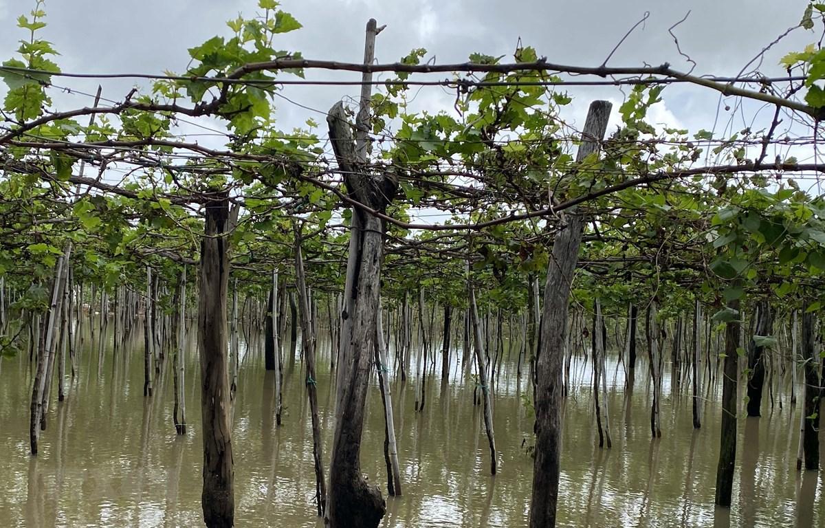 Nhiều diện tích nho của người dân ở huyện Ninh Phước bị ngập trong nước. (Ảnh: Công Thử/TTXVN)