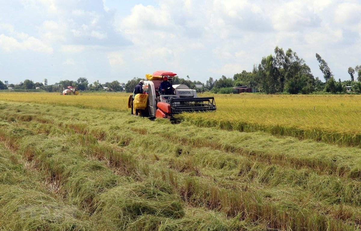 Thu hoạch lúa Hè Thu 2020 sản xuất theo mô hình cánh đồng lớn ở huyện Hòn Đất (Kiên Giang). (Ảnh: Lê Huy Hải/TTXVN)