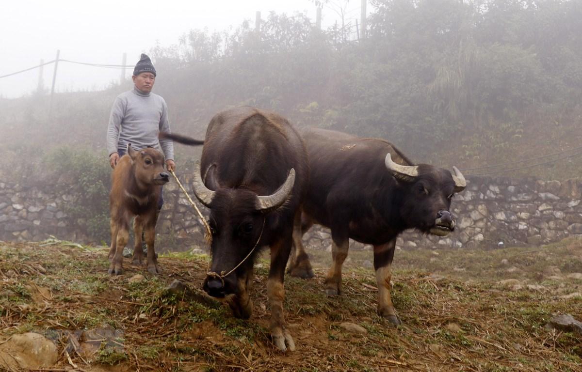 Người dân vùng cao thị xã Sa Pa chủ động di chuyển đàn trâu xuống vùng thấp chống rét. (Ảnh: Quốc Khánh/TTXVN)