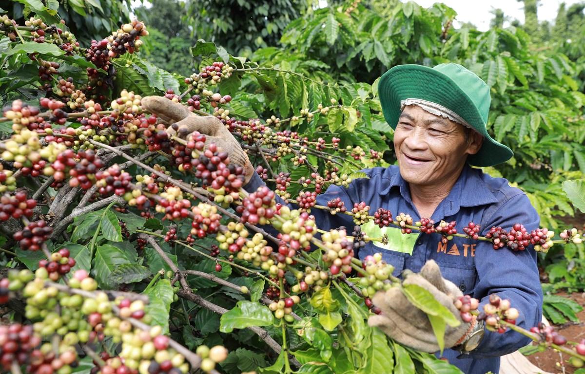 Nông dân xã Ea Kao, thành phố Buôn Mê Thuột thu hoạch cà phê được sản xuất trồng xen canh với cây tiêu theo khuyến cáo của ngành nông nghiệp cho hiệu quả kinh tế cao. (Ảnh: Vũ Sinh/TTXVN)