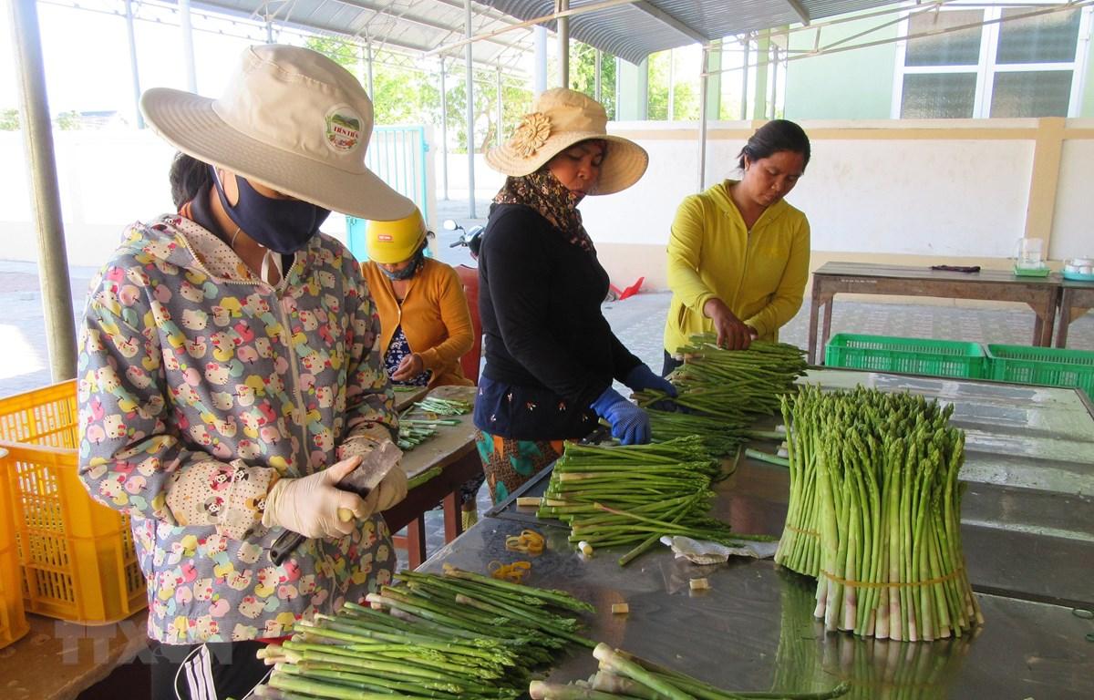 Xã viên Hợp tác xã dịch vụ tổng hợp Tuấn Tú (xã An Hải, huyện Ninh Phước, Ninh Thuận) sơ chế sản phẩm đặc thù măng tây xanh để đưa đi tiêu thụ. (Ảnh: Nguyễn Thành/TTXVN)