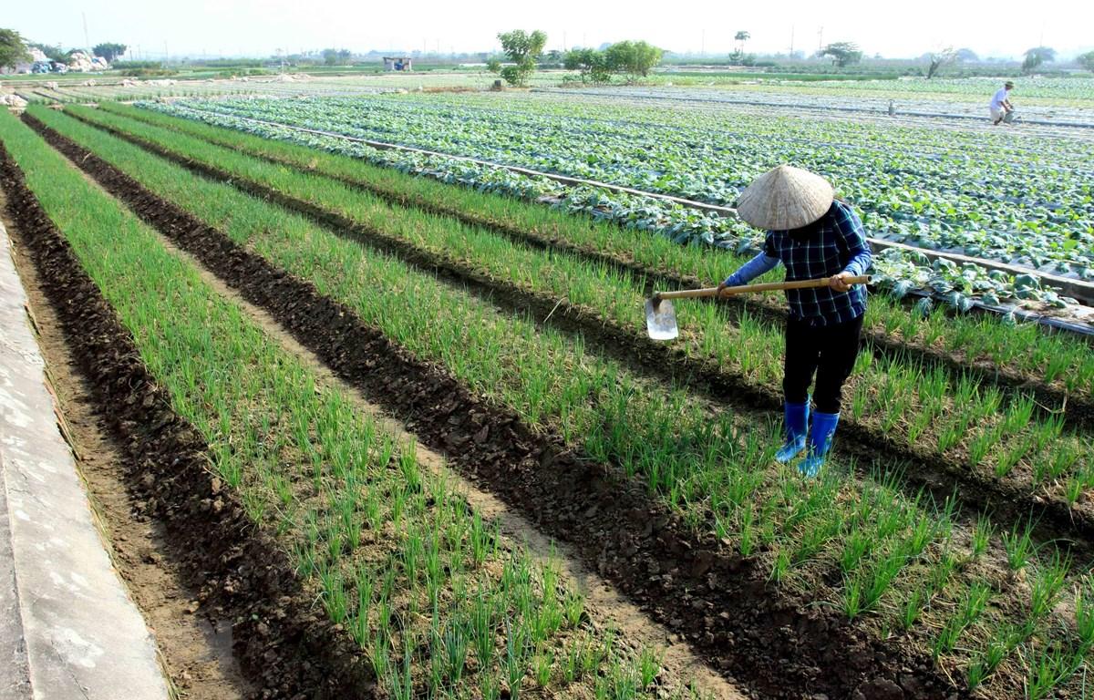 Thành viên của Hợp tác xã Dịch vụ nông nghiệp xã Quỳnh Hải, huyện Quỳnh Phụ, Thái Bình chăm sóc cây màu vụ Đông. (Ảnh: Thế Duyệt/TTXVN)