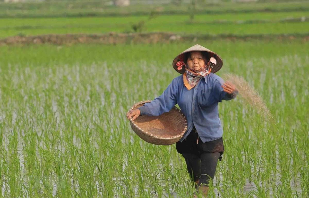Chăm sóc lúa Xuân tại Hợp tác xã sản xuất nông nghiệp Đoàn Kết, xã Phương Tú, huyện Ứng Hòa, Hà Nội. (Ảnh: Hoàng Hiếu/TTXVN)
