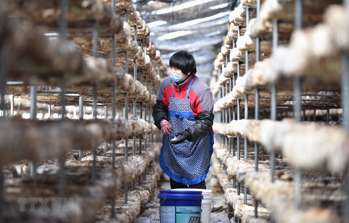 Nông dân làm việc tại một nhà kính trồng nấm ở thành phố Định Châu, tỉnh Hà Bắc, Trung Quốc ngày 16/3. (Ảnh: THX/TTXVN)