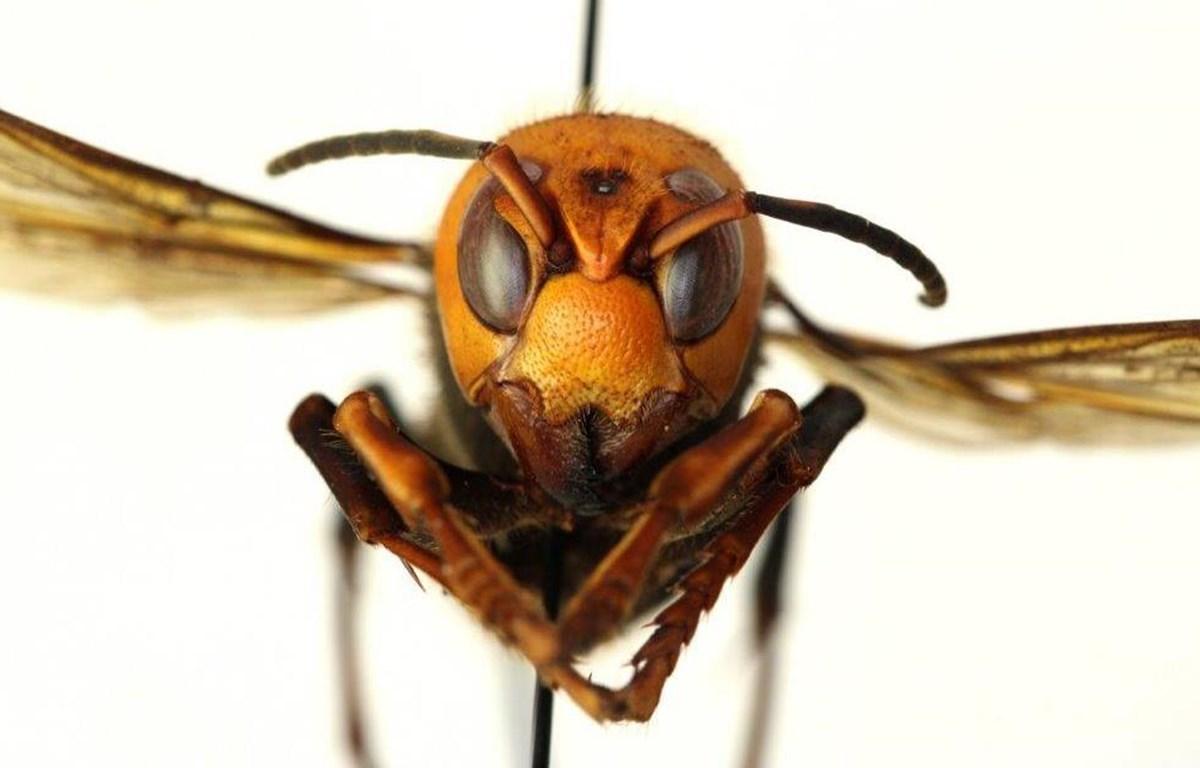 Ong bắp cày sát thủ. (Nguồn: NBC News)