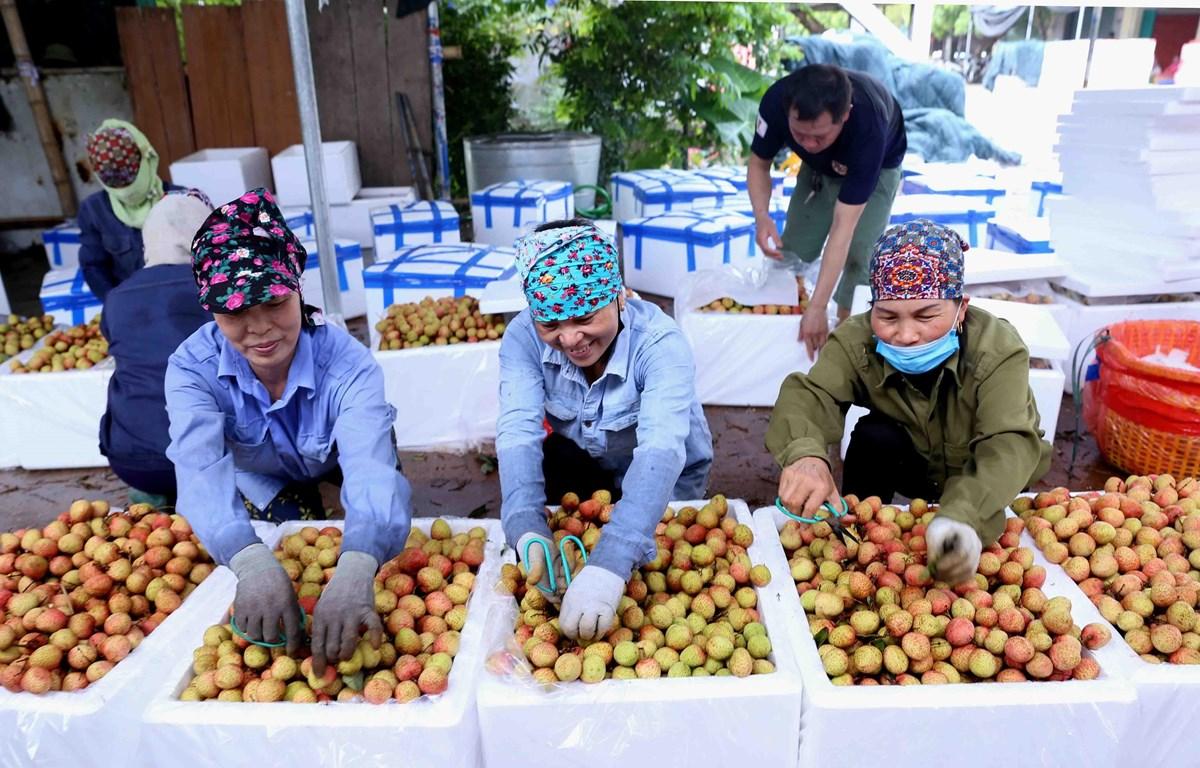 Đóng thùng xốp bảo quản sản phẩm vải chín sớm phục vụ xuất khẩu tại một cơ sở thu mua ở xã Thanh Quang. (Ảnh: Vũ Sinh/TTXVN)