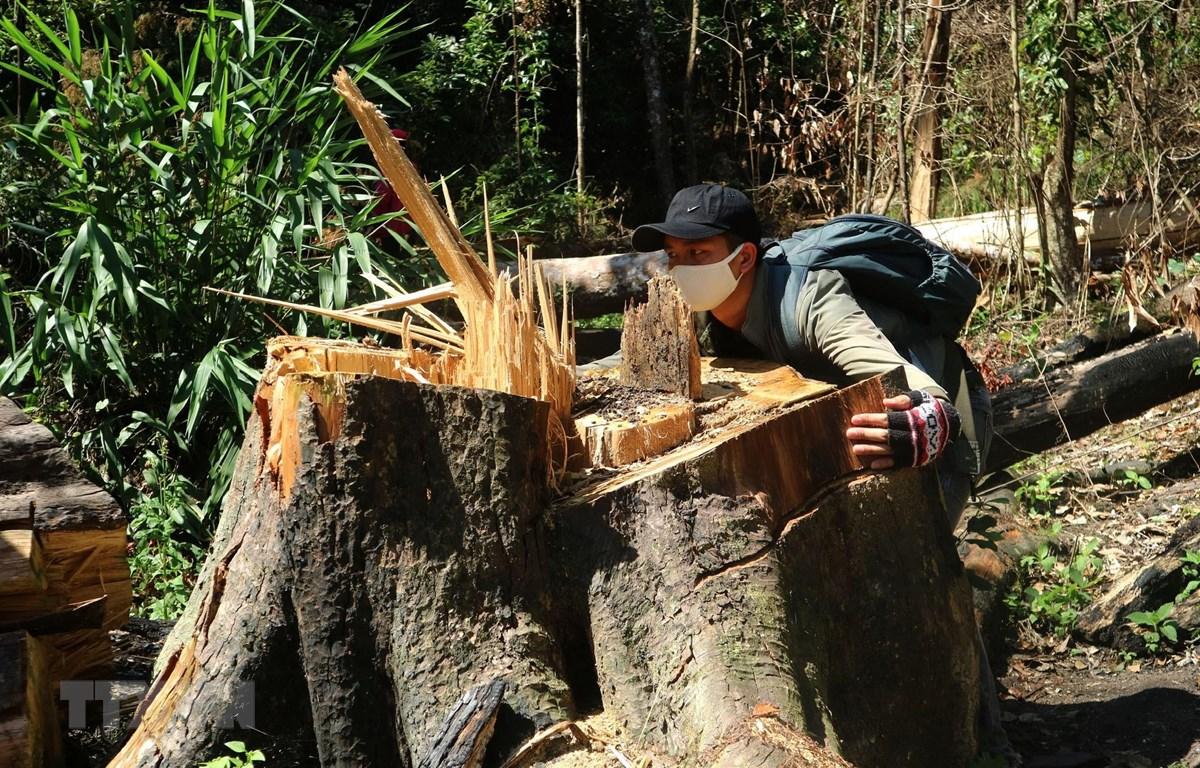 Cây gỗ Bạch Tùng cổ thụ hàng trăm năm tuổi, dài tới 50m bị chặt hạ. (Ảnh: Đặng Tuấn/TTXVN)