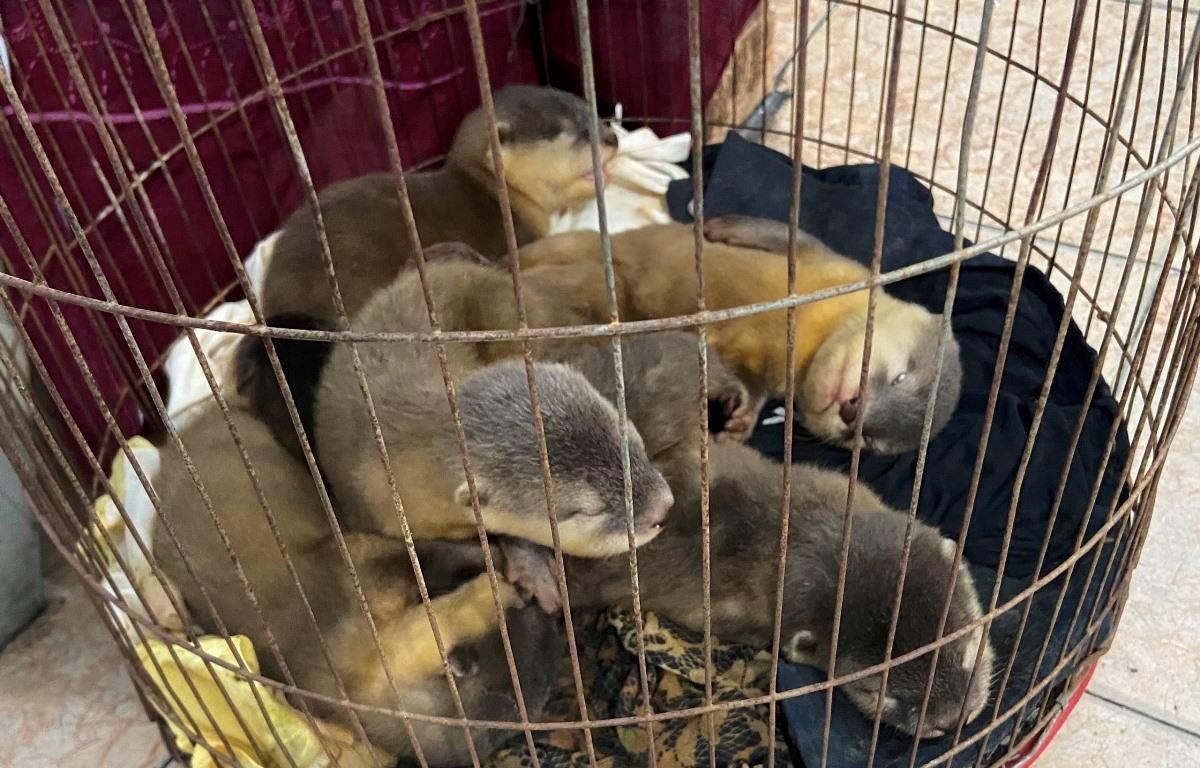 6 cá thể rái cá được giải cứu khi đang bị buôn bán trái phép tại Thành phố Hồ Chí Minh. (Ảnh: ENV cung cấp)