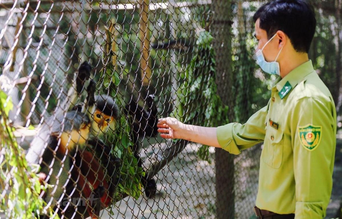 """Anh Đỗ Đăng Khoa trò chuyện với Voọc chà vá chân nâu - loài Voọc được tôn vinh là """"nữ hoàng"""" của các loài thú linh trưởng. (Ảnh: Minh Sơn/Vietnam+)"""