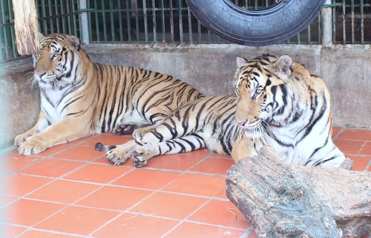 Quần thể hổ hoang dã đang suy giảm ở tất cả các quốc gia có hổ tại Đông Nam Á. (Ảnh: Hùng Võ/Vietnam+)