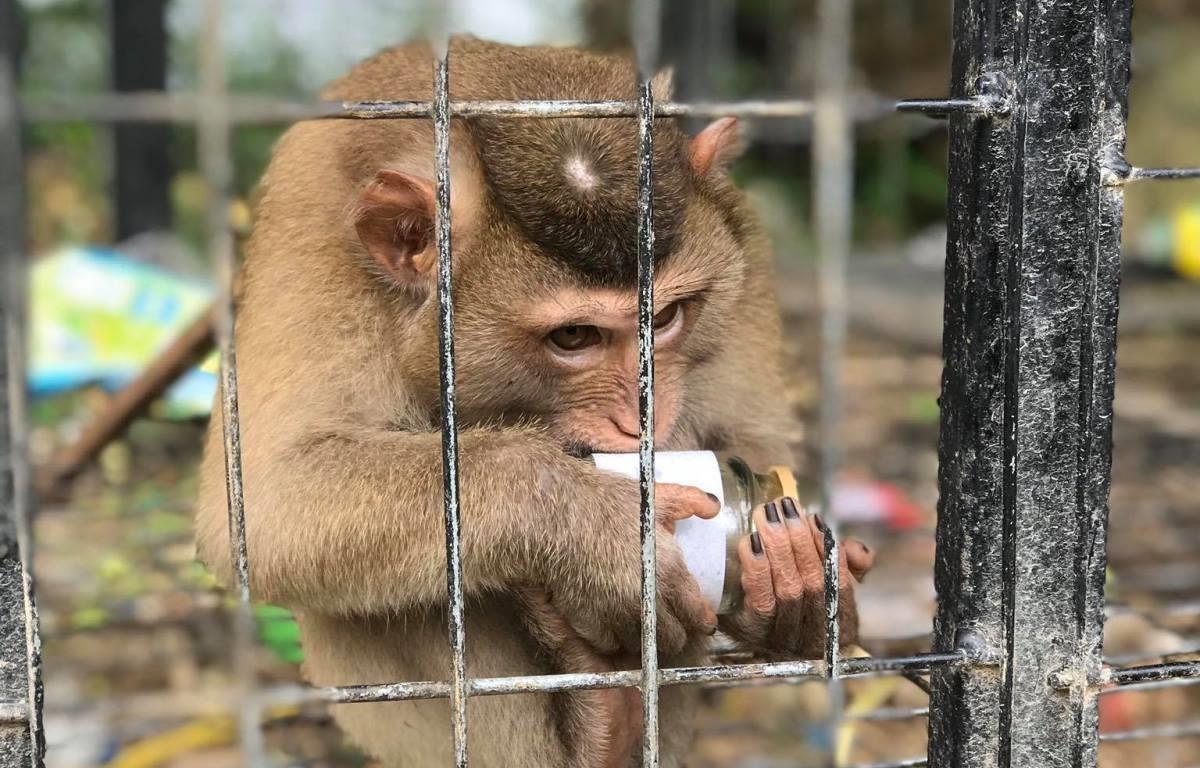 Cá thể khỉ bị nuôi nhốt làm cảnh tại Tam Đảo, tỉnh Vĩnh Phúc. (Ảnh: Hùng Võ/Vietnam+)
