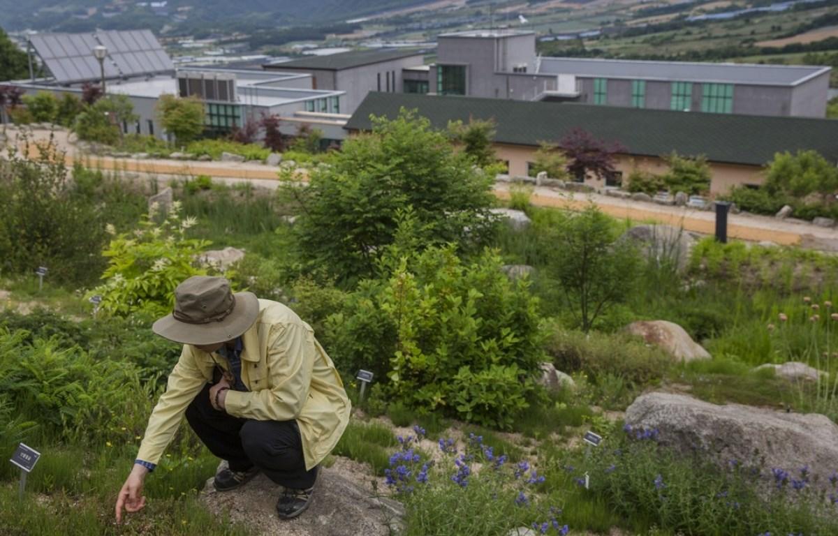 Một nhà nghiên cứu của Sở Lâm nghiệp Hàn Quốc nghiên cứu thực vật tại Vườn Bách thảo Quốc gia DMZ giữa hai miền. (Nguồn: scmp.com)