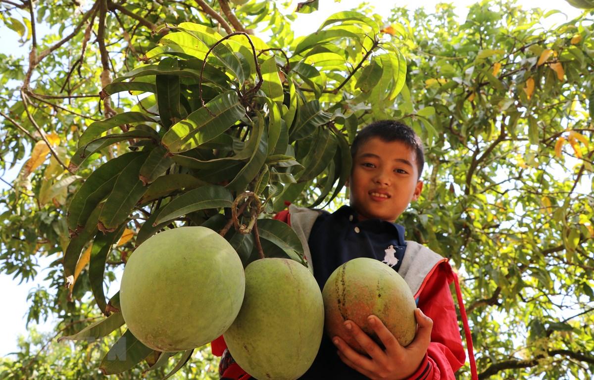 Những trái xoài sắp được thu hoạch. (Ảnh: Dương Chí Tưởng/TTXVN)