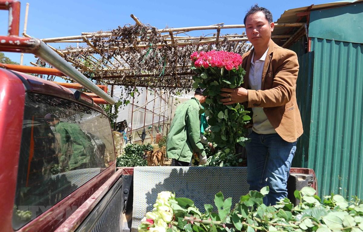 Hhoa hồng Đà Lạt đẹp nổi tiếng nên được khách hàng ưa chuộng. (Ảnh: Nguyễn Dũng/TTXVN)