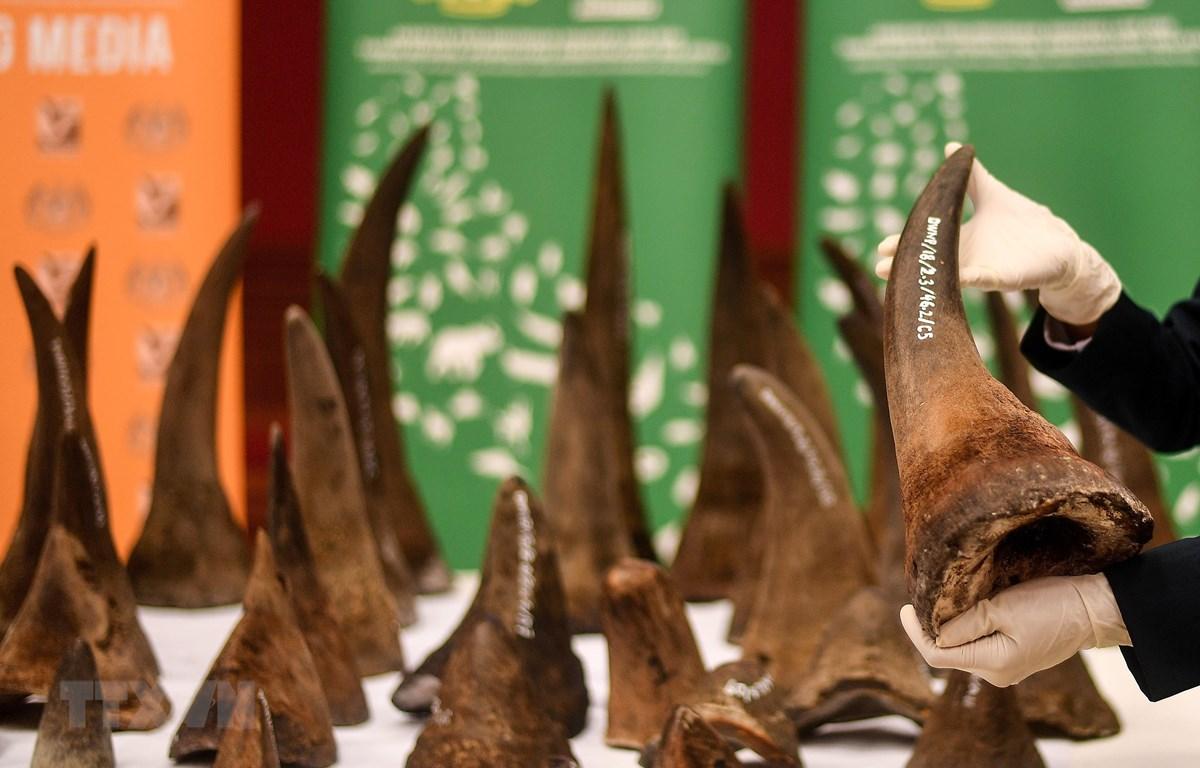 Sừng tê giác bị lực lượng chức năng Malaysia thu giữ. Đông Nam Á là nơi tiêu thụ rất nhiều loại hàng cấm này. (Ảnh: AFP/TTXVN)