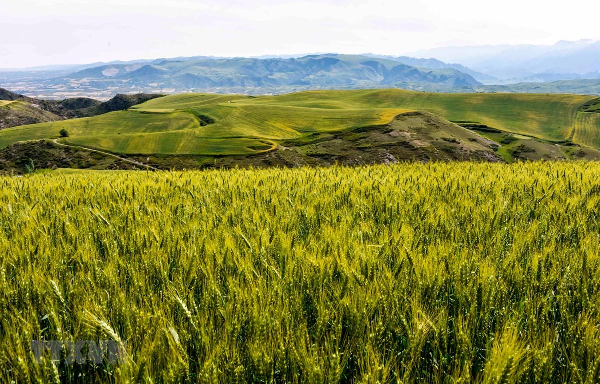 Một cánh đồng lúa mì ở Xương Cát, phía tây bắc khu tự trị Tân Cương, Trung Quốc. (Ảnh: THX/TTXVN)