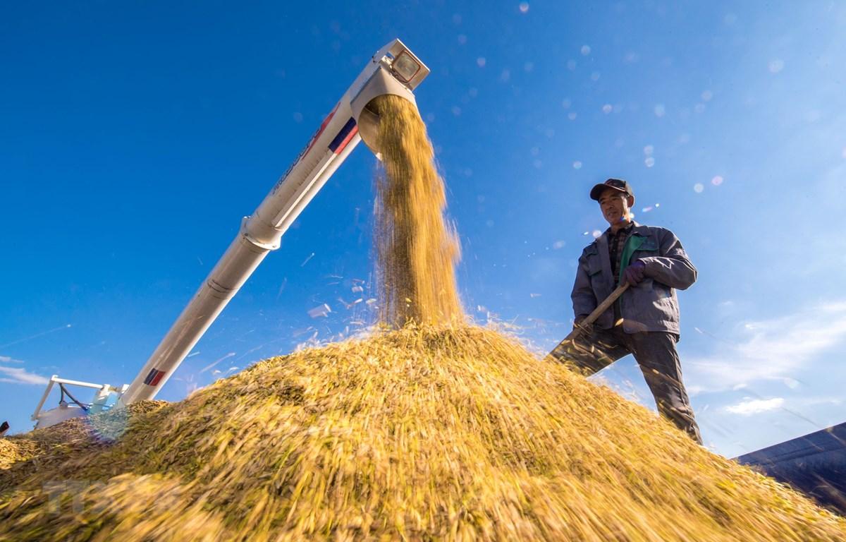 Thu hoạch lúa trên cánh đồng ở tỉnh Cát Lâm, đông bắc Trung Quốc, ngày 17/9/2018. (Ảnh: THX/ TTXVN)