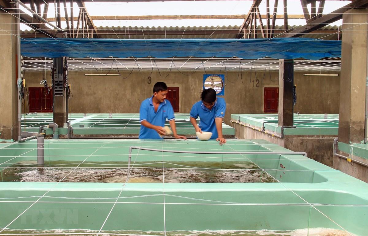Nuôi tôm postlarvae tại cơ sở nuôi tập trung ở xã An Hải, Ninh Phước, Ninh Thuận. (Ảnh: Công Thử/TTXVN)