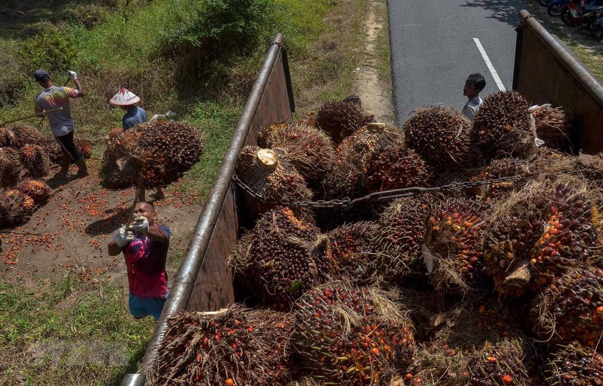 Nông dân thu hoạch quả cọ tại Kampar, tỉnh Riau, Malaysia. Ảnh: AFP/ TTXVN)