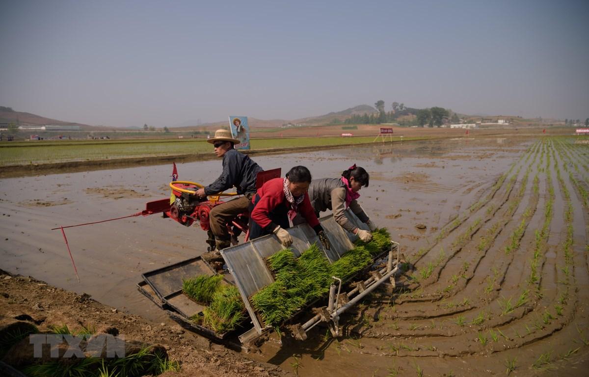 Nông dân trồng lúa trên cánh đồng ở Chongsan-ri, Triều Tiên ngày 12/5/2019. (Ảnh: AFP/TTXVN)
