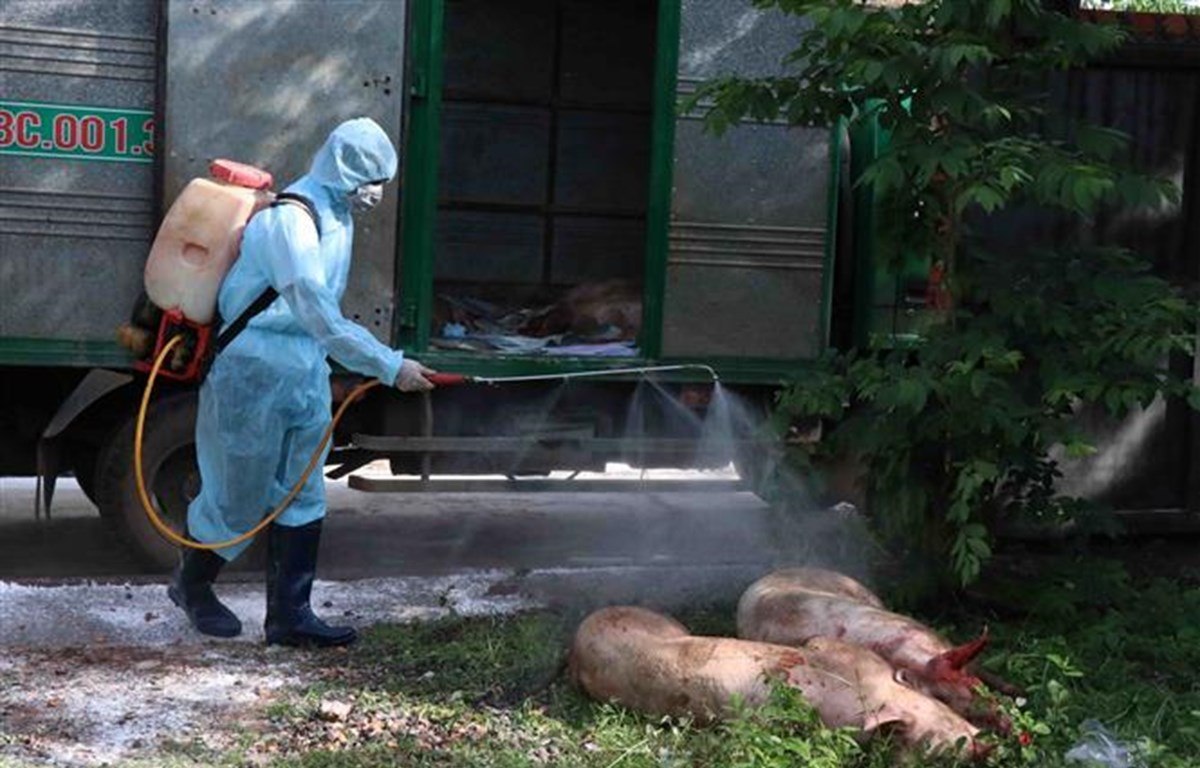 Phun hóa chất lợn bị dịch tả lợn châu phi tại hộ gia đình ông Lê Văn Bán, thôn 11, xã Hòa Phú, thành phố Buôn Ma Thuột. (Ảnh: Phạm Cường - TTXVN)