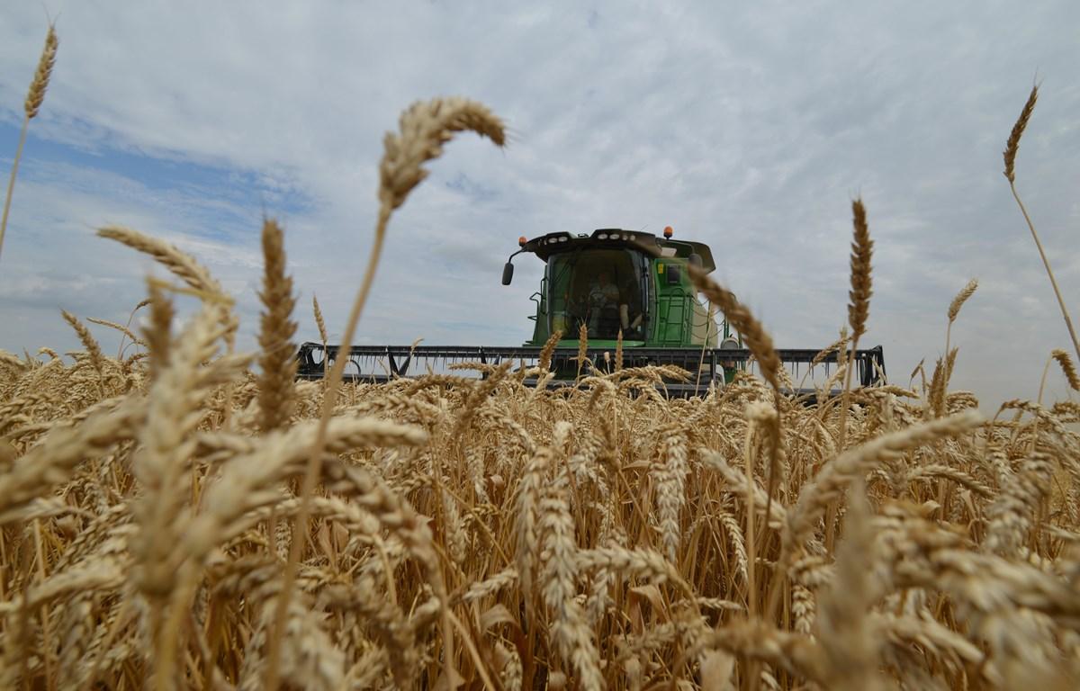 Thu hoạch lúa mì tại vùng Stavropol, miền nam nước Nga. (Ảnh: AFP/TTXVN)