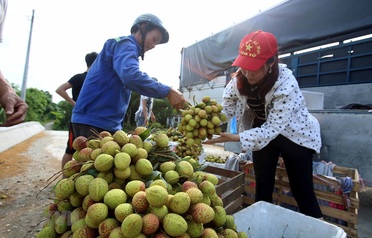 Từ giữa tháng Năm đến nay, hơn 13.000 tấn quả vải tươi đã được xuất sang Trung Quốc qua cửa khẩu Tân Thanh, Lạng Sơn. (Ảnh: Phạm Kiên/TTXVN)