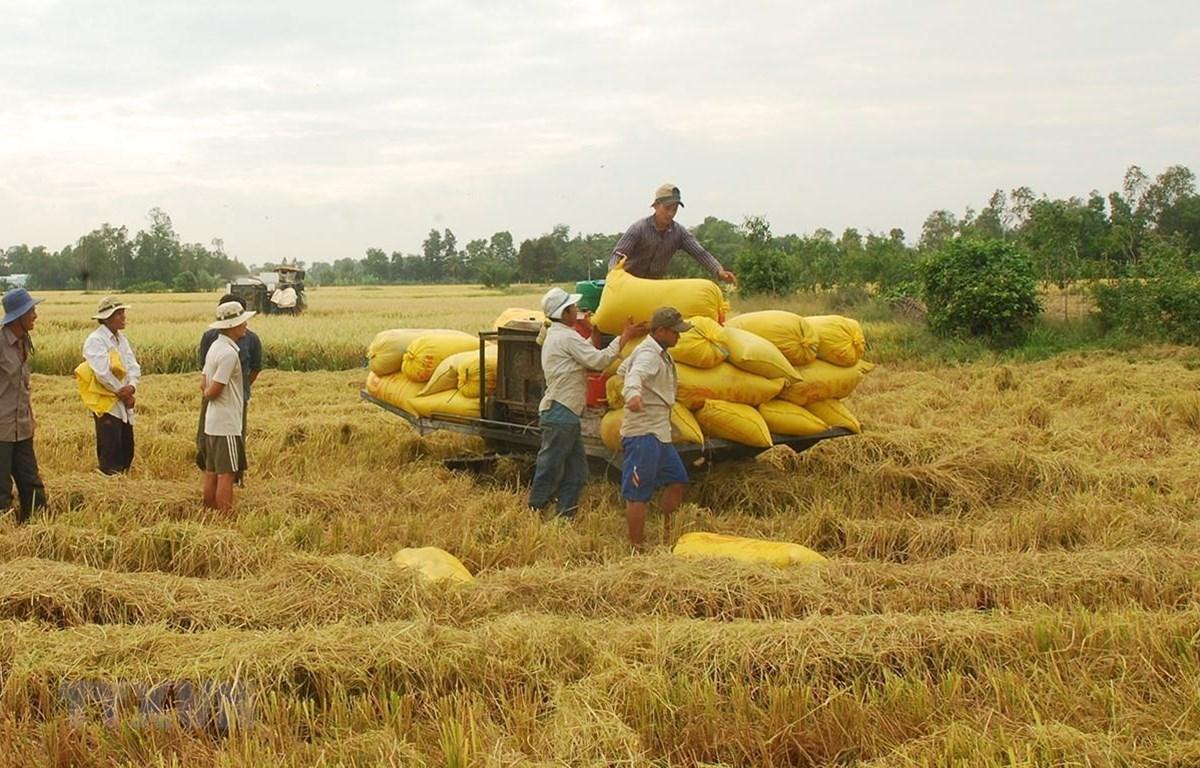 Thu hoạch lúa Đông Xuân tại Bạc Liêu. (Ảnh: Huỳnh Sử- TTXVN)