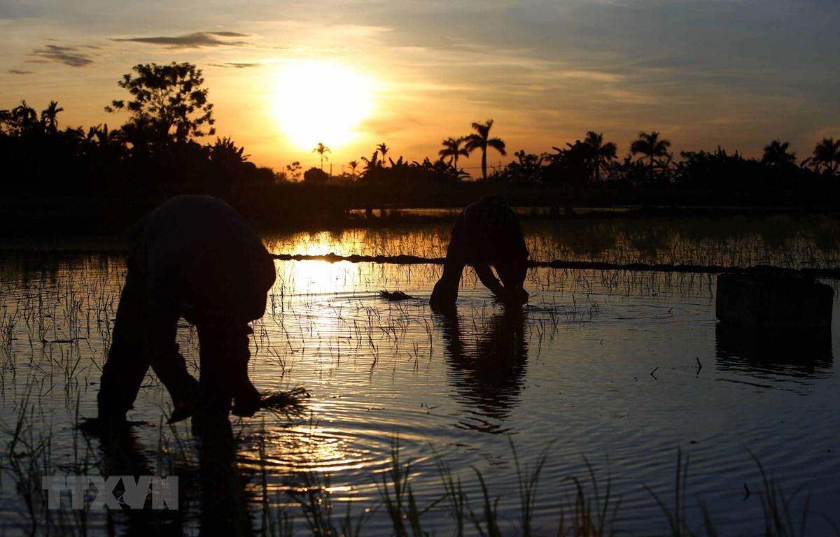 Do ban ngày nắng nóng, nông dân huyện Tiên Lữ, Hưng Yên phải tranh thủ cấy lúc 3 giờ sáng trước khi mặt trời lên cao. (Ảnh: Phạm Kiên/TTXVN)