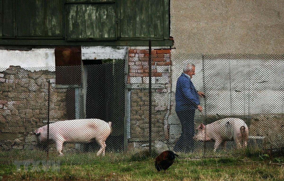 Lợn được nuôi tại trang trại ở làng Golema Rakovitsa, Bulgaria. (Ảnh: AFP/ TTXVN)