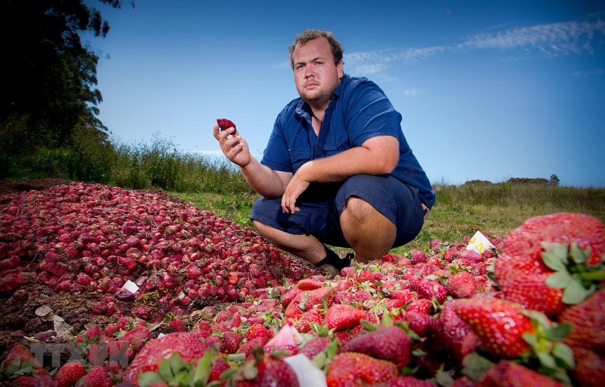 Nông dân làm việc trên cánh đồng dâu tây tại Queensland, Australia. (Ảnh: AFP/TTXVN)