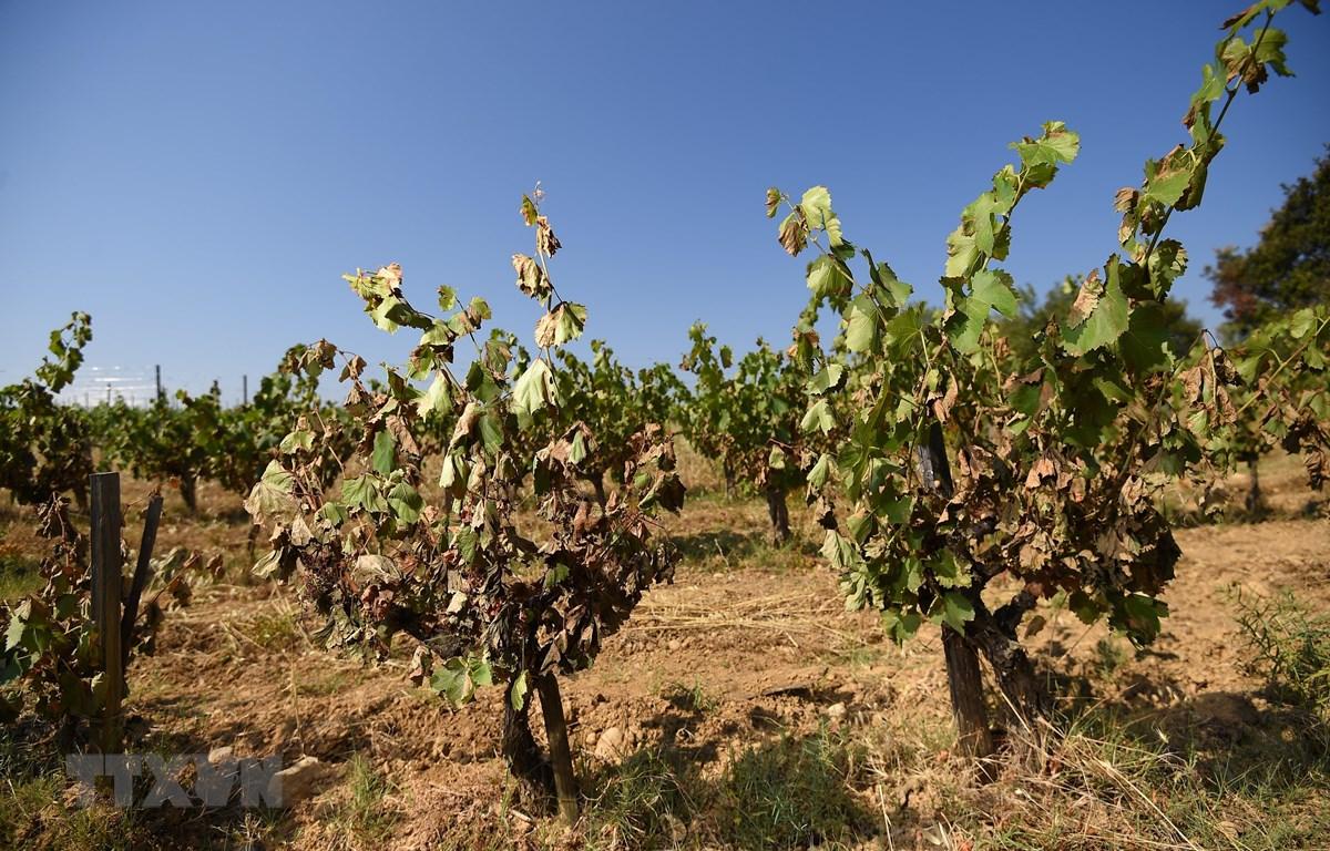 Nắng nóng có thể lên tới 50 độ C đe dọa ngành nông nghiệp của Italy. (Nguồn: AFP/TTXVN)