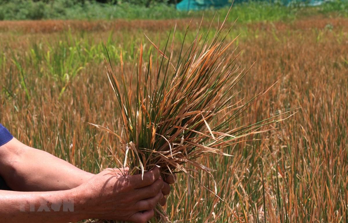Nhiều diện tích lúa tại xã Cư M'ta, huyện M'Đrắk bị chết khô do hạn hán kéo dài. (Ảnh: Tuấn Anh/TTXVN)