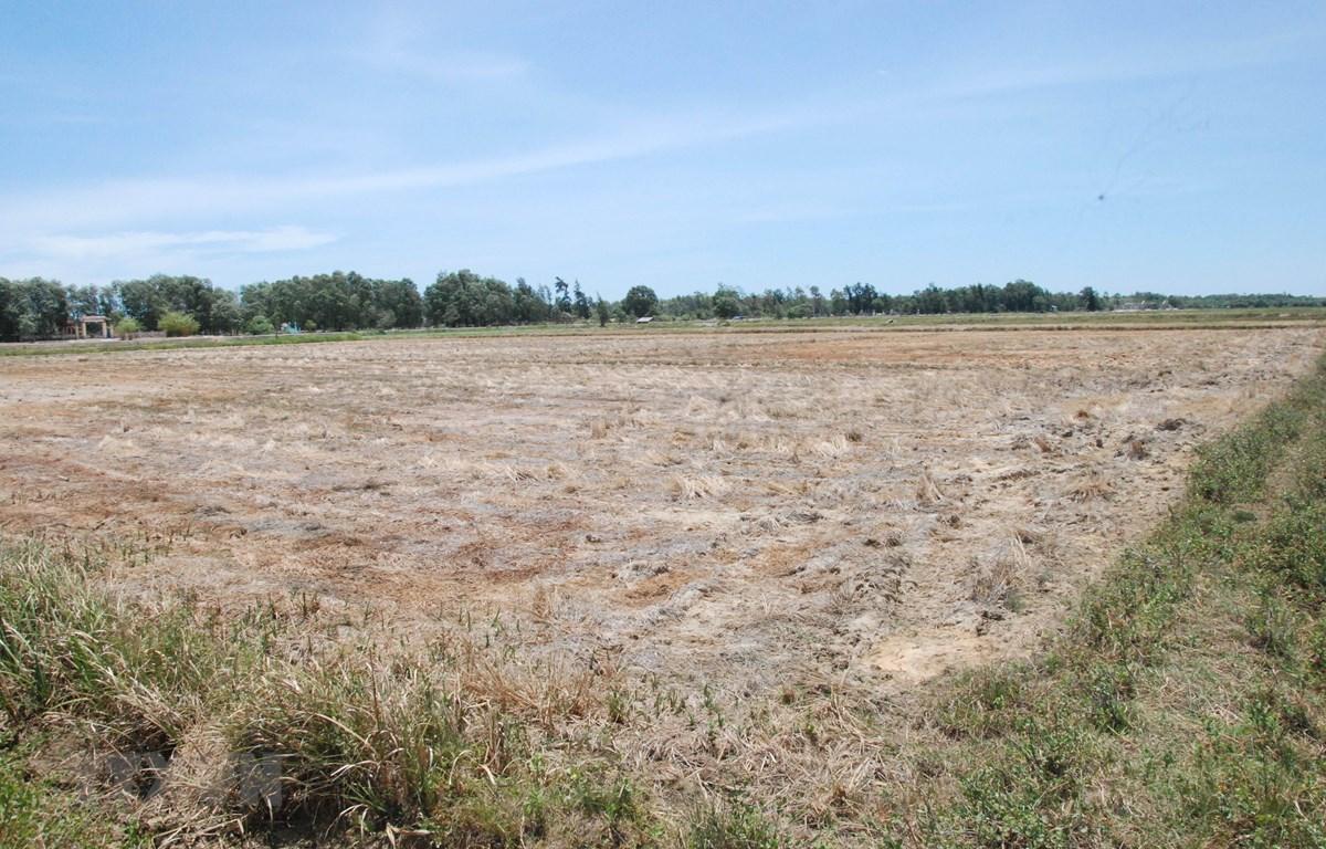 Thiếu nước sản xuất khiến nhiều diện tích đất trồng lúa tại tỉnh Quảng Trị bị bỏ hoang. (Ảnh: Thanh Thủy/TTXVN)