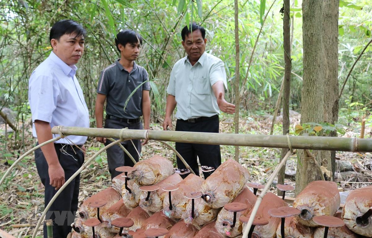 Kiểm tra mô hình trồng nấm Linh chi bán tự nhiên dưới tán rừng tại Vườn quốc gia Phước Bình. (Ảnh: Nguyễn Thành/TTXVN)